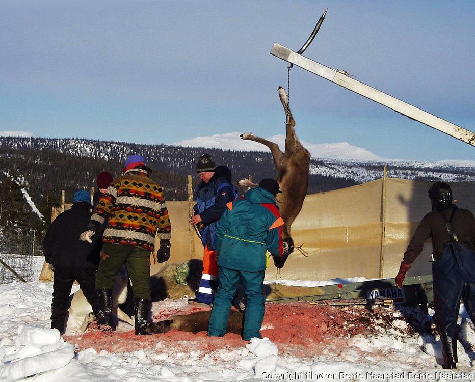 sørsamisk reindrift, vinterslakting Sørli, reinen løftes inn i mobilslakteriet Sørsamisk reindrift i Nord-Trøndelag. Southsami reindeer herding in Mid-Norway. Luru reinbeitedistrik (Låarte Sijte). Slakting med mobilt slakteri, Lierne.