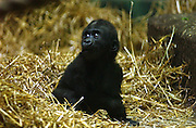 The first gorilla ever born at the Louisville Zoo, Azizi, on display in the Gorilla Forest exhibit Thursday, May 14, 2004, in Louisville, Ky., will move with JoJo and six females to Lincoln Park Zoo in Chicago next week. Azizi is five months old and weighs about 10 pounds. (AP Photo/Brian Bohannon)