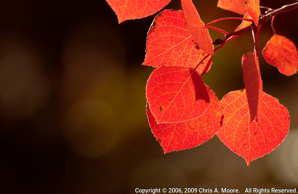 Red Aspen leaves glow from afternoon light on Pennock Pass, Colorado,  September 2006