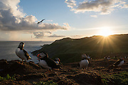 An improbability, indecision or gathering of puffins at sunset at the Wick on Skomer, taken on a wide angle lens against the sea backdrop.