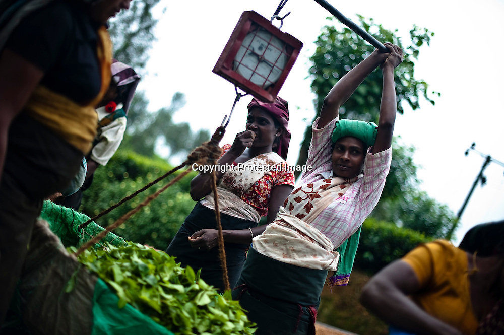 Tea pluckers weigh the leaves they have harvested at the Hollyroad Estates tea plantation neat the town of Hatton in central Sri Lanka December 14, 2009.  Pluckers have a target of picking 16 kilograms of the leaves bu on average pick between 25-28 kilograms which will earn them about $5 per day. Keith Bedford for The New York Times
