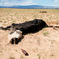072913       Brian Leddy<br /> Several dead cows were recently found near the home of Ella Meyers near Coyote Canyon. The animals have been sitting for two weeks, according to Meyers.