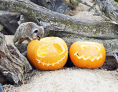 OCT 21 2014 Meerkats Celebrate Halloween at Whipsnade Zoo