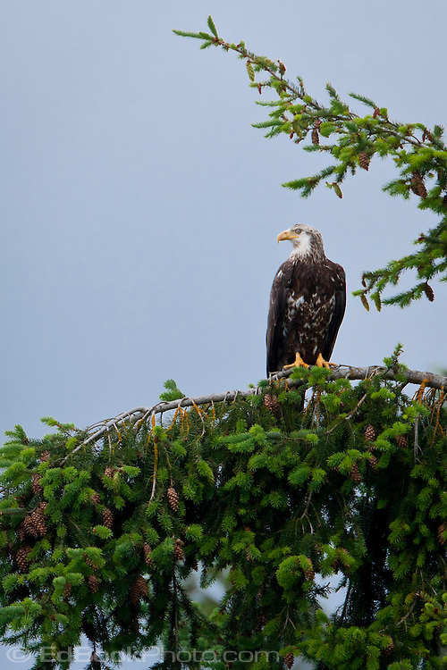 Immature Bald Eagle (Haliaeetus leucocephalus) (Halietus leucocephalus) sitting in a Douglas Fir tree along the Hood Canal of Puget Sound, Washington state, USA
