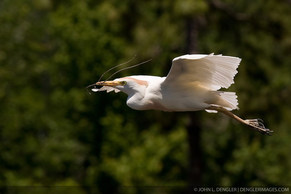 A cattle egret (Bubulcus ibis) flying with nesting material in the Gatorland alligator breeding marsh and bird sanctuary near Orlando, Florida. The bird sanctuary is the largest and most easily accessible wild wading bird rookery in east central Florida. The cattle egret is a prolific nester. They will build in any place that can support a nest, and prefer large colonies mixed with other wading birds, like the alligator breeding marsh at Gatorland.