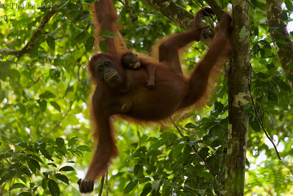 Adult female Walimah with one month old infant.<br />Feeding in Grewia tree.<br /><br />Bornean Orangutan <br />Wurmbii Sub-species<br />(Pongo pygmaeus wurmbii)<br /><br />Gunung Palung Orangutan Project<br />Cabang Panti Research Station<br />Gunung Palung National Park<br />West Kalimantan Province<br />Island of Borneo<br />Indonesia