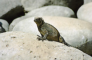 Marine Iguana sitting on rock, Galapagos Islands