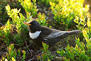 A Male Ring Ouzel feeding amongst Bilberry, Burbage Valley, Peak District, UK