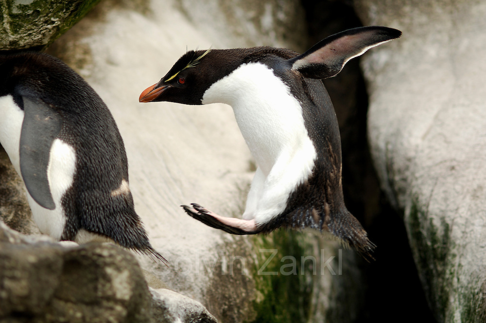 Die Felsenpinguine (Eudyptes chrysocome) or (Eudyptes crestatus) kommen nach ihrem Beutezug in Gruppen aus dem Meer und machen sich auf den Weg hinauf in die am Hang gelegene Brutkolonie.|After their foraging trip the rockhopper penguins (Eudyptes chrysocome) return from the ocean in groups and start to walk and hop all the way up to their breeding colony far uphill.