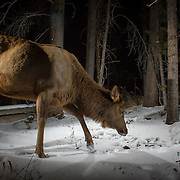 An elk cow (Cervus elaphus) in Big Hole National Battlefield, Montana. Photographed with a trail camera via a premit issued by the National Park Service.