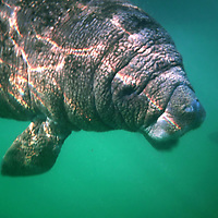 CRYSTAL RIVER, FL -- January 4, 2009 --  A six-month old baby manatee glides through the water during a American Pro Diving Center tour in Crystal River, Fla., on Sunday, January 4, 2009.  Crystal River is the home of the nation's largest population of manatees, who will often come right up to humans on the various snorkeling and scuba tours of the area.  (Chip Litherland for The New York Times)