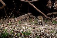 Northern Raccoon (Procyon lotor)<br /> TEXAS: Travis Co.<br /> Brackenridge Field Laboratory; Austin<br /> 7-March-2011<br /> J.C. Abbott