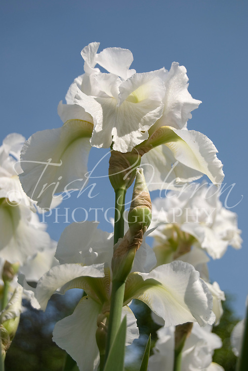 White irises bloom against a blue sky