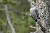 Jays, Crows & Allies