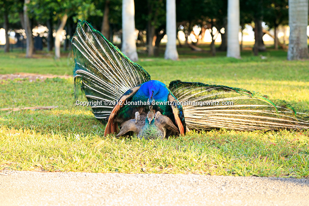 Peahen And Peacock Mating A peacock and peahen  Pavo