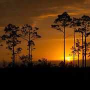 Several slash pine trees (Pinus elliotti) are rendered in silhouette as the sun sets behind the Pinelands of the Florida Everglades. Pine trees cannot survive if submerged for extended periods, and therefore grow only at the highest elevations in the Everglades – which are only a few feet higher than the lowest points. Slash pine trees are specially adapted to survive fires, however, which destroy invasive species.
