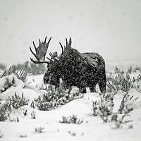 Moose in the Snow<br /> Teton National Park<br /> Wyoming