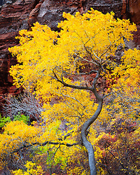 The colors of Autumn in Zion Canyon. Zion National Park, Utah.