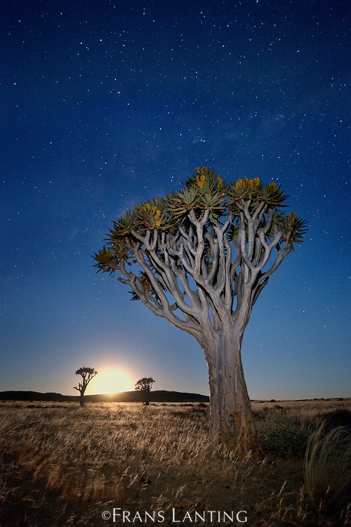 Quiver tree, Aloe dichotoma, with starry night sky and rising moon, Namib-Naukluft National Park, Namibia