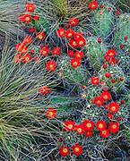 0501-1010 ~ Copyright:  George H. H. Huey ~ Claret cup cactus [Echinocereus triglochidiatus].  Chisos Mountains.  Big Bend National Park, Texas.