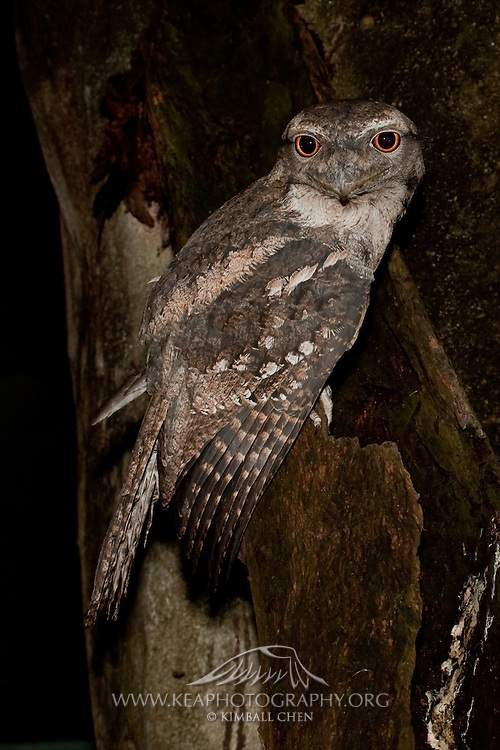Frogmouths are named for their massive broad bills.  Like this Papuan Frogmouth, they perch motionless and disguise themselves as dead branches during the day.  At dusk, they begin foraging by swooping down on insects and spiders.