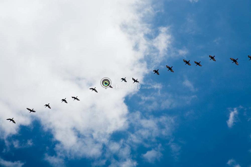 Aves migratorias voando sobre a  a Barra da Tijuca, no Rio de Janeiro / Birds in Rio de Janeiro, Brazil. Bird migration refers to the regular seasonal journeys undertaken by many species of birds.