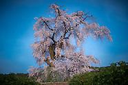 Hanami under Sakura