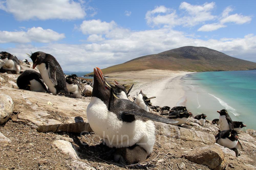 Nach einer halsbrecherischen Klettertour über steile Felsen sind die Felsenpinguine (Eudyptes chrysocome) in ihrer Brutkolonie hoch über dem Meer angekommen. Dort werden die etwa 10 Tage alten Küken noch von jeweils einem Elternteil gehudert und so vor den Witterungseinflüssen und vor Freßfeinden geschützt. | After climbing the steep rocks the rockhopper penguins (Eudyptes chrysocome) reach the breeding colony high above the sea. At an age of ca. 10 days the chicks are still guarded by one of the adults which take turns at giving them shelter from the sun, the wind and predators.  [size of single organism: 50 cm]