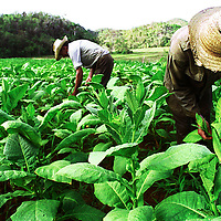 Farmers work in the tobacco fields in Viñales.