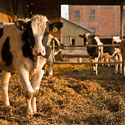 Cows breeding and milk production in Poland