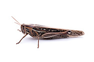 American Bird Grasshopper (Schistocerca americana)<br /> TEXAS: Bastrop Co.<br /> Property off Hwy 95; Elgin, 5 mi S<br /> 30.26577&deg; -97.33804&deg;  4-Nov-2012<br /> J.C. Abbott #2629 &amp; K.K. Abbott