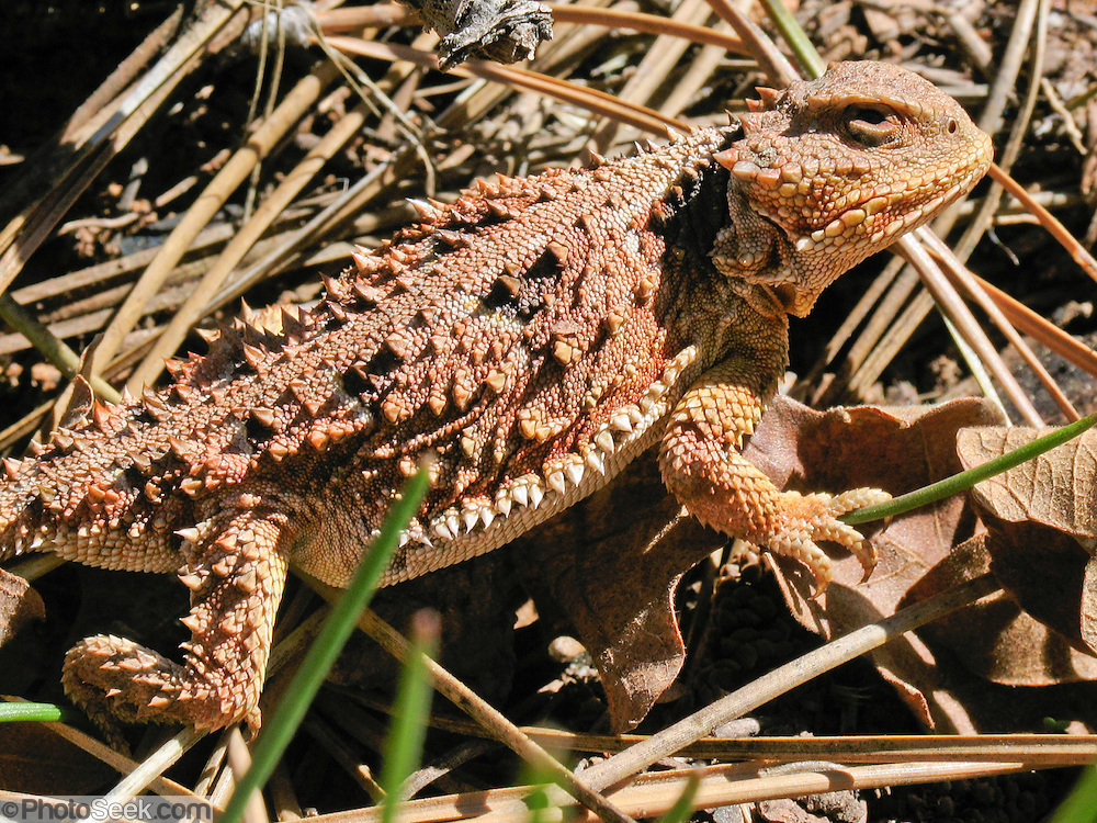 "The Short-Horned Lizard (Phrynosoma hernandesi) is often wrongly called a ""Horned Toad"" or ""Horny Toad."" Photo in Nankoweap Canyon, Arizona, USA."