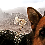 2 dogs, the only stable inhabitants of the volcano crater a, stroll over the top of the crater of  Vesuvium volcano.In the latest twenty years the civil defence has developped in collaboration with the local  admnistrative organizations a wide range of security programs regarding the danger of Vesuvius's eruptions.
