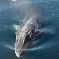 A Southern Minke Whale comes up to inspect the icebreaker Vladimir Ignatyuk in McMurdo Sound, Antarctica .