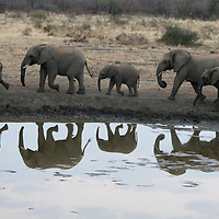 Africa, South Africa, Madikwe. Elephant herd walking at water's edge before dusk.