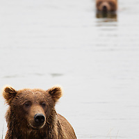 Adult brown bear with cubs in background swimming in a river, Katmai National Park, Alaska