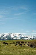 Black Angus, cattle, pasture, Sedan, Montana, Bridger Mountains