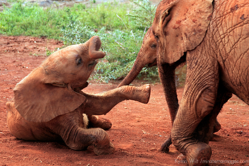 Africa, Kenya, Nairobi. Orphaned baby elephants cared for, and caring for one another, at David Sheldrick's Wildlife Trust in Nairobi.