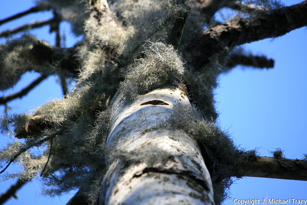 A closeup of Spanish Moss hanging off of a dead tree on Jekyll Island Georgia.