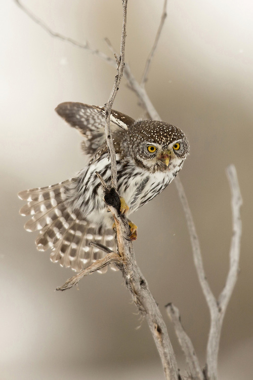 Searching the area for prey, this northern pygmy-owl spent hours combing a nearby meadow for mice.  Rodents, small birds and insects make up the majority of this tiny predator's diet.