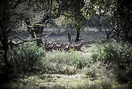 A running herd of deer, February 2014<br /> <br /> &quot;The Pose and the Prey&quot;<br /> <br /> Hunting in my imagination was always more like taxidermy &mdash; as if the prey was just a mere accessory of the hunter's pose for his heroic photograph &mdash; the real trophy.<br /> <br /> When I decided to document the daily lives of Portuguese hunters, I had in my memory the &quot;clich&eacute;&quot; from the photographer Jos&eacute; Augusto da Cunha Moraes, captured during a hippopotamus hunt in the River Zaire, Angola, and published in 1882 in the album Africa Occidental. The white hunter posed at the center of the photograph, with his rifle, surrounded by the local tribe.<br /> <br /> It was with this clich&eacute; in mind that I went to Alentejo, south of Portugal, in search of the contemporary hunters. For several months I saw deer, wild boar, foxes. I photographed popular hunting and private hunting estates, wealthy and middle class hunters, meat hunters and trophy hunters. I photographed those who live from hunting and those who see it as a hobby for a few weekends during the year. I followed the different times and moments of a hunt, in between the prey and the pose, wine and blood, the crack of gunfire and the murmur of the fields .<br /> <br /> I was lucky, I heard lots of hunting stories. I found an essentially old male population, where young people are a minority. Hunters, a threatened species by aging and loss of economic power caused by the crisis in the South of Europe.<br /> <br /> The result of this project is this series of contemporary images, distant from the &quot;cliche&quot; of 1882.<br /> <br /> &mdash; Antonio Pedrosa