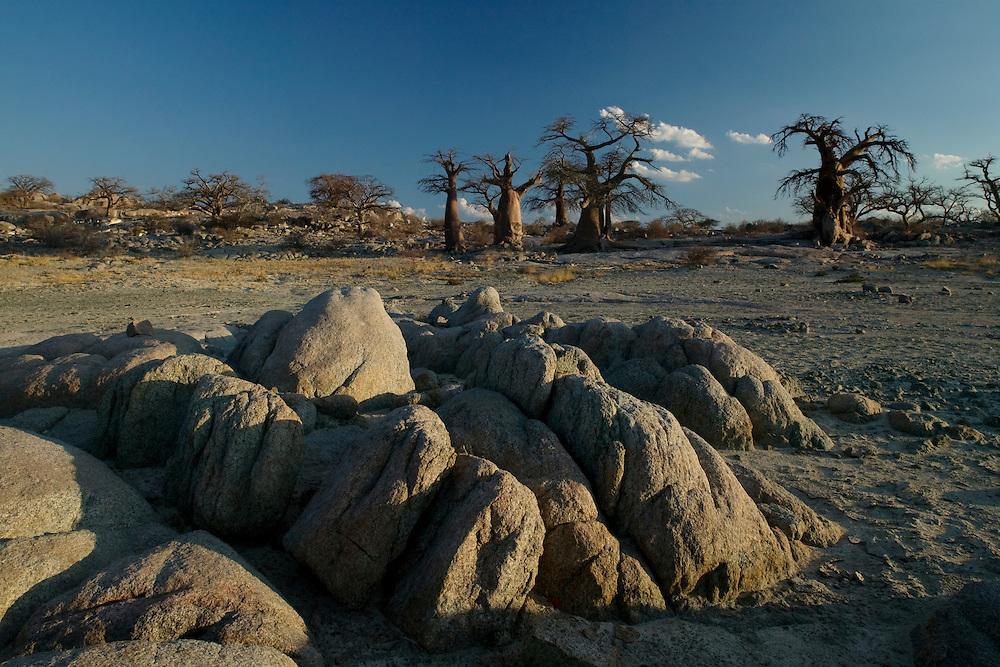 Africa, Botswana, Evening sun lights Baobab Trees (Adansonia digitata) on Kubu Island on Makgadikgadi Pan in Kalahari Desert