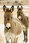 Mules - Donkeys - Burros