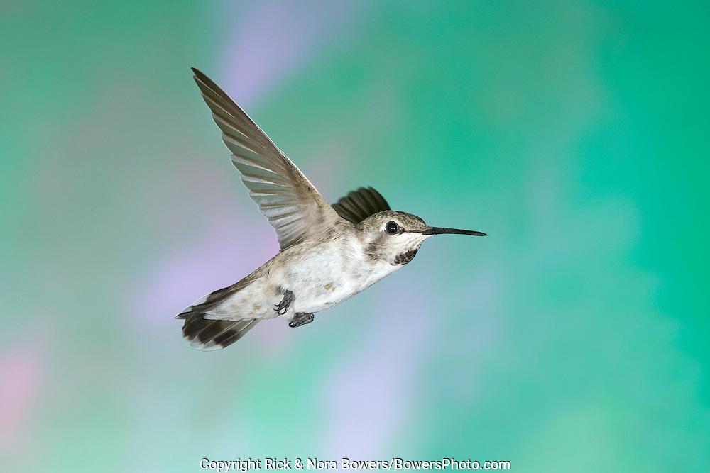 Costa's Hummingbird .Calypte costae.Sierra Vista, ARIZONA, United States.22 August     Immature Male      Trochilidae