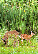 Mom and fawn