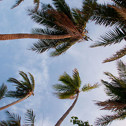 Coconut Palms Above the Beach, Turtle Island, Yasawa Islands, Fiji