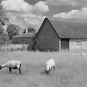 Grazing Sheep And Thatched Roof Barn - Avebury, UK - Infrared Black & White