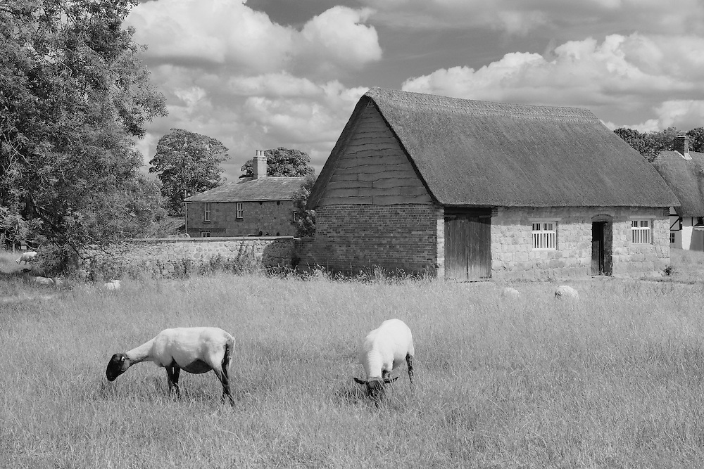 Grazing Sheep And Thatched Roof Barn - Avebury, UK - Infrared Black & White