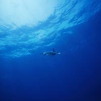 Green Sea Turtle swimming underwater.