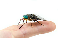 Horse Fly (Tabanus americanus) - female on a finger showing its size; the largest horsefly in North America<br /> United States: Alabama: Tuscaloosa Co.<br /> Tulip Tree Springs off Echola Rd.; Elrod<br /> 33.33480, -87.79355<br /> 3-Jun-2016<br /> J.C. Abbott #2825 &amp; K.K. Abbott